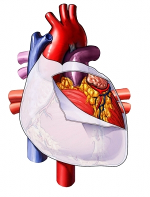heart sac vessels